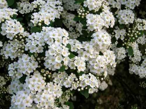 Spiraea x van Houttei does need extra care in unusually hot or wet climates as extreme heat, or excess moisture will cause it to struggle.