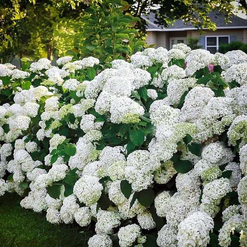 Snow Hill Hydrangea has big showy blossoms of white against broad, big, gray-green leaves.
