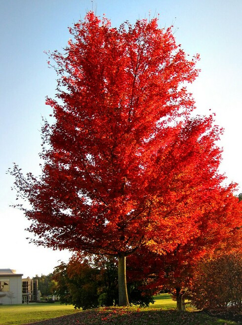 Silver Maple Tree  grows well in urban and suburban environments and can even thrive in drier soil.