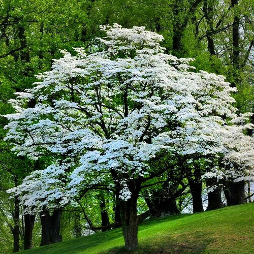 White Dogwood Tree  grow to different sizes depending on the species and cultivar.