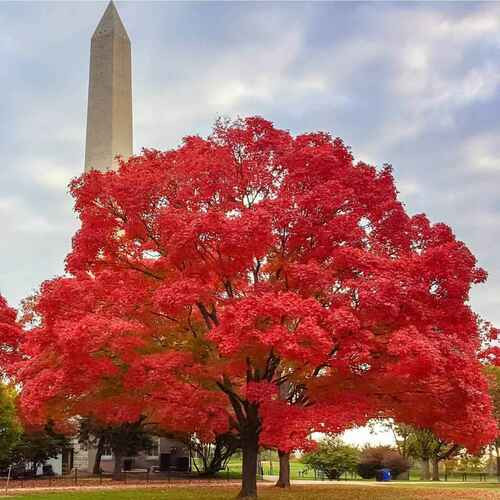 Red Maple Tree  is easily transplanted and is quick to develop surface roots in soils ranging from well-drained sand to clay.
