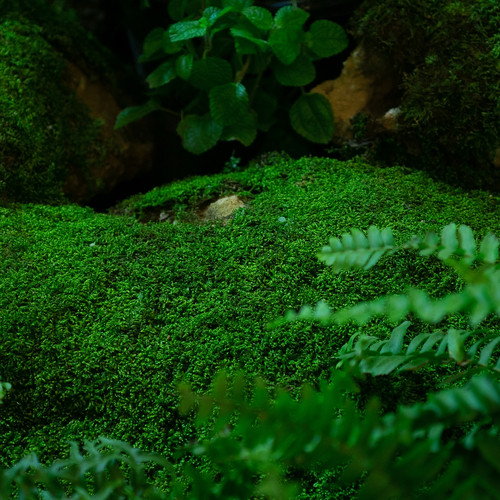 Rock Cap Moss is a Non-Flowering Perennial for Damp Area Growth