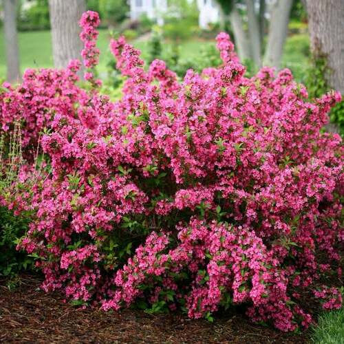 Pink Weigelia is a low maintenance shrub that thrives in full sun.