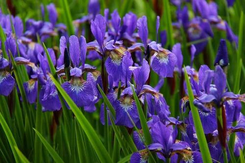 """Blue Flag Iris  has  grass-like leaves with a size of  less than 1/4"""" (6 mm) wide."""