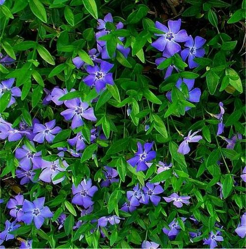 Periwinkle bares small blue flowers and stretches moderately fast across forest floors.