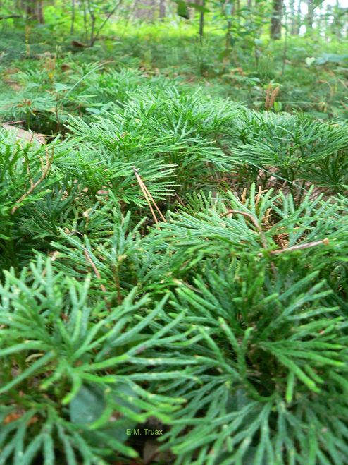 Fan Clubmoss  grows thick and can be designed and trimmed into a sleek topiary pattern.