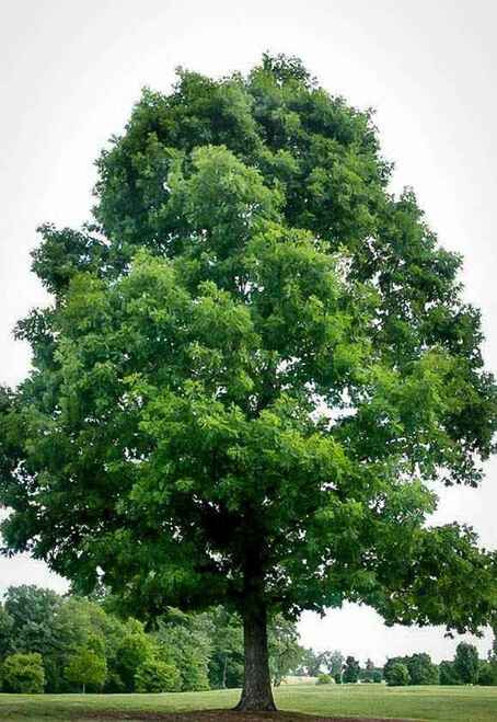 White Oak Seedlings produce trees that grow up to 100 feet tall with a trunk that can go up to four feet.