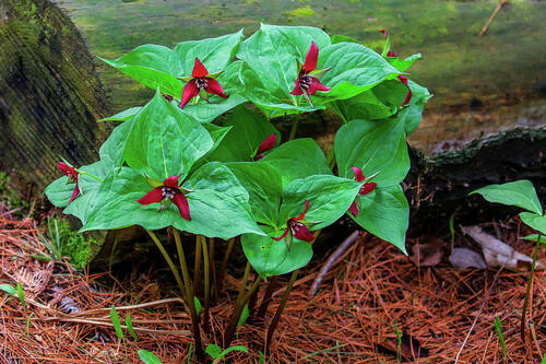 Red Trillium  grows between 12 and 18 inches in height.