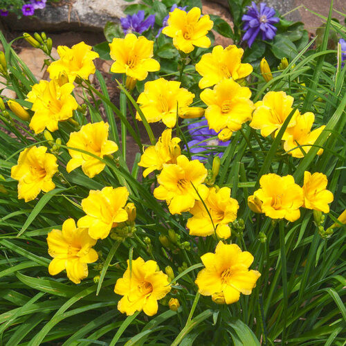 Stella De Ora Daylilly  are an excellent choice for gardens and landscaping in areas frequented by wildlife and may be more prone to pest damage.