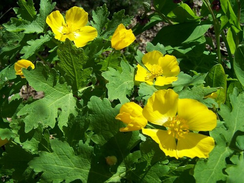 Celandine Poppy Plant evolve in shaded conditions with rich organic soils, so replicating this in the home garden environment is the best way to make them thrive.