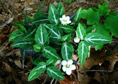 Spotted wintergreen used the leaves to treat stomach issues, sores, and open wounds.