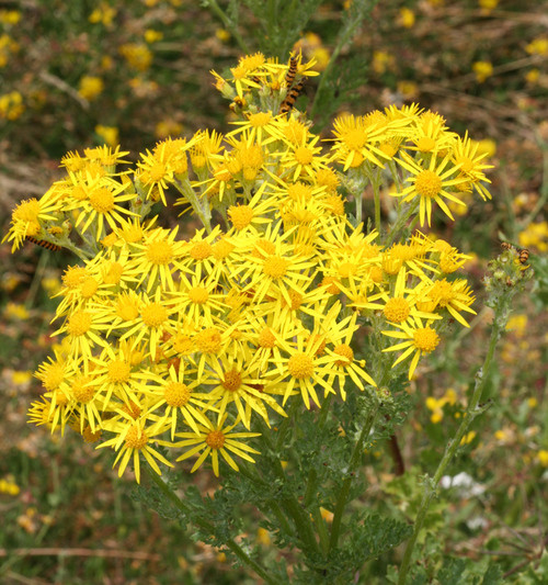 Golden Ragwort  grows well in a wide range of light conditions as it is well-adapted to lightly shaded environments, moderately shaded environments, and environments with direct sunlight exposure.
