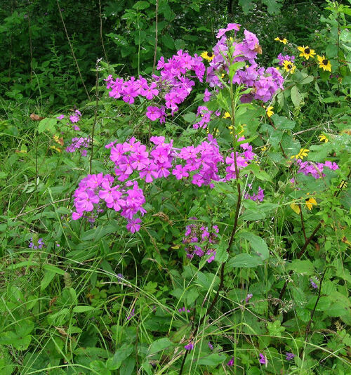 Phlox Plant  is a flowering herbal plant that is native to woodlands in the range of the Appalachian mountains.