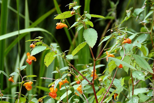 Jewelweed Plant is recognized by its showy, horn-shaped, and dangling orange/yellow blossoms with deep reddish-brown spots inside.  .
