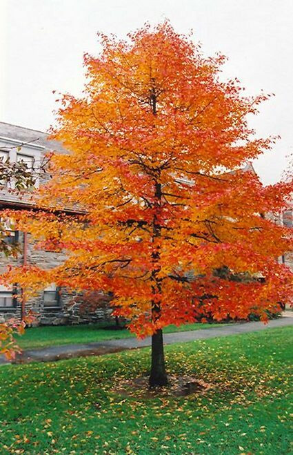 Black Gum Tree requires full sun and partial shade, getting at least 4 hours of unfiltered, direct sunlight, and will grow anywhere from 30 to 50 feet tall and a width of 20 to 30 feet.