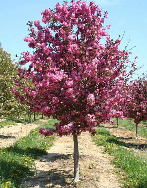 Crabapple Tree grows to a maximum of 15 to 20 feet and makes it ideal for small lots and yards.
