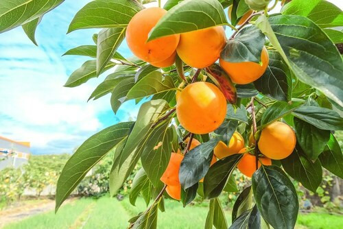 Persimmon Tree are beautiful and have value in both the fruit they produce and the wood.