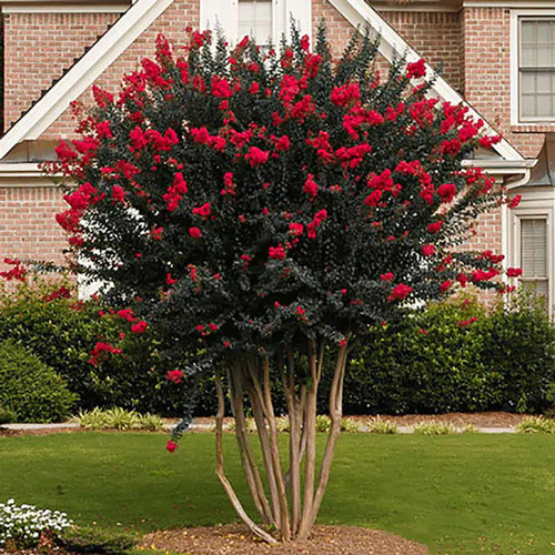 Red Crepe Myrtle is a famous southern tree due to its easy maintenance and tolerance to dry conditions that reach even 100 degrees.