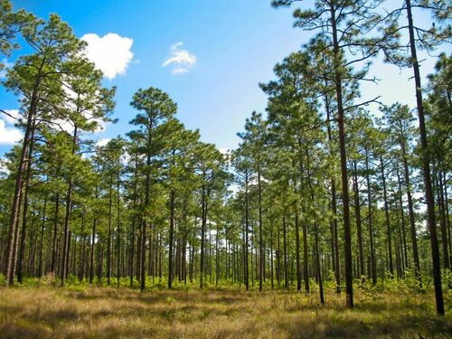 Shortleaf Pine Tree can reach 80 to 100 feet tall and 2-3 feet in diameter.