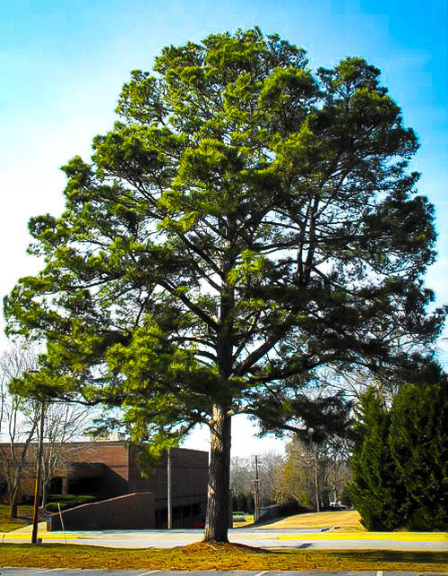 Loblolly Pine Tree  trunk can reach an astounding 100 feet in height, and its diameter measures 4 feet on average.