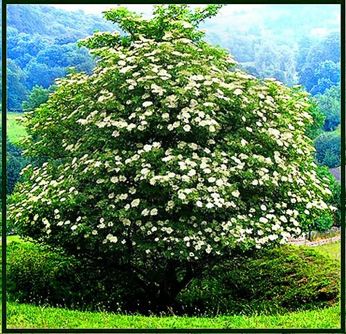 Elderberry Tree can grow to full 7, 10, and 15 feet heights with a spread from 6-10 feet.