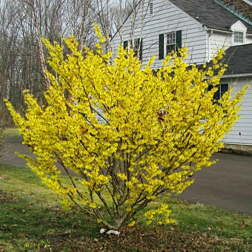 Witch Hazel Tree  grows to a height of anywhere between eight feet high and 30 feet wide.