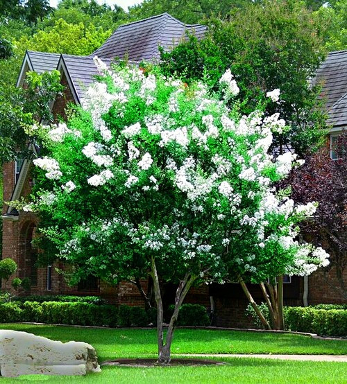 What makes the  natchez crepe myrtle a popular shrub is that when they bloom, they bloom for between 60-120 days, making it one of the world's most extended blooming trees.