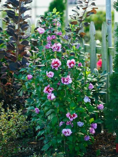 Purple Althea Hibiscus are easily transplanted and can provide aeetically pleasing garden borders and hedge-like backyard screens.