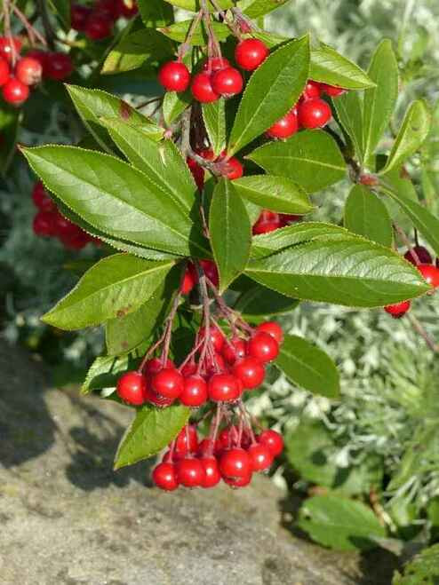 Red Chokeberry Shrub also suitable for creating borders for water features, such as ponds, as the plant tolerates wet, boggy conditions.