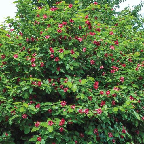 Carolina Allspice Shrub can grow between three to six feet with a width as large as 12 feet.