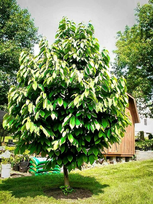 Fruiting Paw Paw Tree growth rate is relatively rapid if all conditions are favorable, and they thrive in acidic soil teaming with organic material.