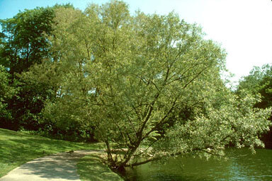 black-willow-2.jpg