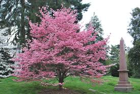 Pink Dogwood Tree For Sale Lowest Prices Online Today