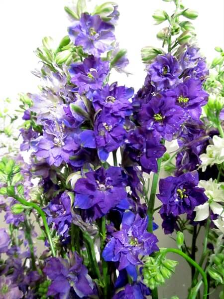 purple-larkspur.jpg