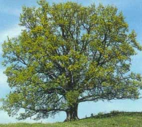 red-oak-tree3.jpg