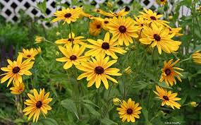 yellow-daisy.jpg