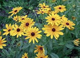 yellow-daisy2.jpg