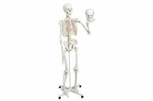 Dynatronics Articulated Adult Human Skeleton