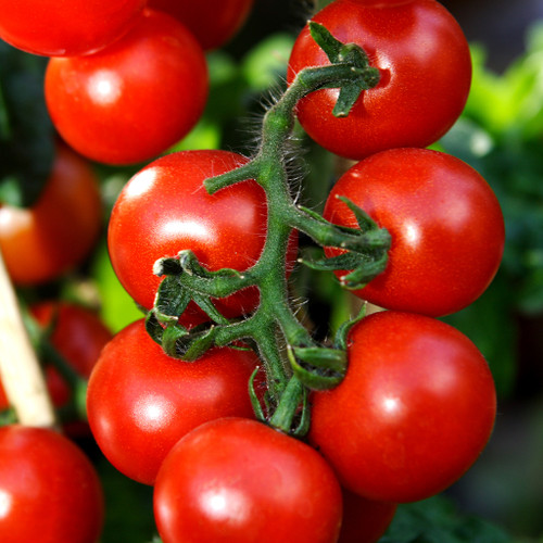 Vine Ripened Tomatoes (LB)