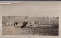 cows-1926.jpg