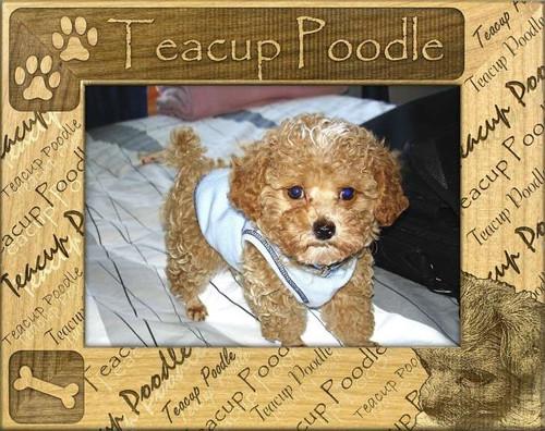 Frame - Teacup Poodle