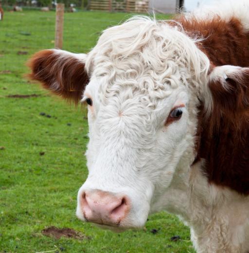 Beef and Buffalo Dog Treats