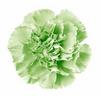 Carnation - Green