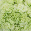 "Color:  Green Large flowers, ""Open Cut"" ready for immediate conditioning and use Consistent flower size and cut stage in each bunch Strong, straight, thick stems for quality and easy designing 25-stem bunches Grade selection: Select 70 cm"