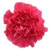 Carnation  -Hot Pink