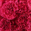 "Color: Hot Pink Large flowers, ""Open Cut"" ready for immediate conditioning and use Consistent flower size and cut stage in each bunch Strong, straight, thick stems for quality and easy designing 25-stem bunches Grade selection: Select 70 cm"