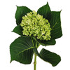 Mini Green Hydrangea Flowers. Hydrangeas have small, clover-shaped blooms.