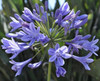 """A """"blue"""" purple flower with multiple blooms on a stem. Bunches of 10 stem."""