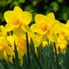 Carlton Daffodils