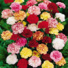 Select Assorted Queens Carnations (350)